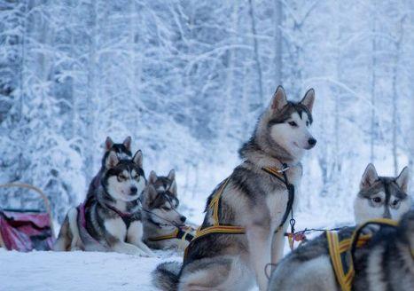 dog_sledging_swedish_lapland_sweden_33831